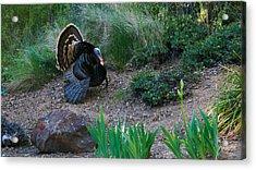 Wild Turkey Acrylic Print by Mark Barclay
