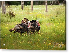 Wild Turkey's Dance Acrylic Print by Iris Greenwell