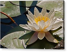 Wild Water Lilies Acrylic Print by Louis Dallara