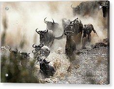 Wildebeest Herd Crossing The Mara River Acrylic Print