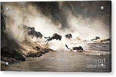 Wildebeest Leap Of Faith Into The Mara River Acrylic Print