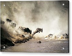 Wildebeest Leaping In Mid-air Over Mara River Acrylic Print