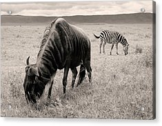 Wildebeest And Zebra Acrylic Print
