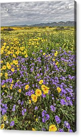 Acrylic Print featuring the photograph Wildflower Super Bloom by Peter Tellone