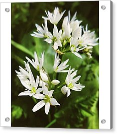 #wildgarlic #flower #woodland #walks Acrylic Print by Natalie Anne
