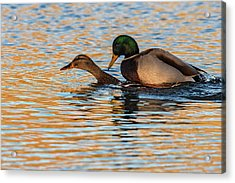 Wildlife Love Ducks  Acrylic Print