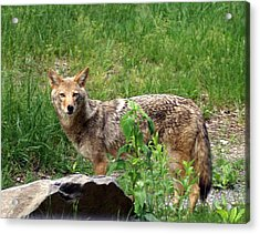 Wiley Coyote Acrylic Print by Marty Koch