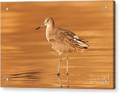 Willet Acrylic Print by Clarence Holmes