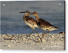Willet Fight Acrylic Print