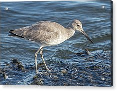 Willet In Winter Plumage Acrylic Print