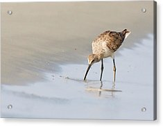 Acrylic Print featuring the photograph Willet On Beach by Bob Decker