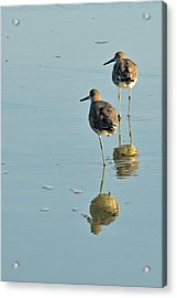 Willets On Jekyll Acrylic Print by Bruce Gourley
