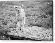 Williamsburg Lamb Acrylic Print