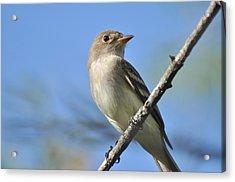 Willow Flycatcher 3 Acrylic Print