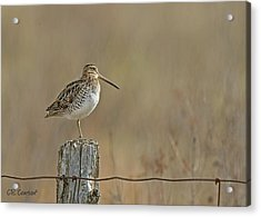 Wilson's Snipe On A Post Acrylic Print