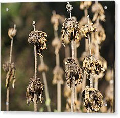 Acrylic Print featuring the photograph Wilted by Nathan Rupert