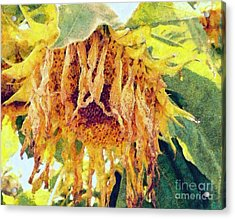 Wilted Sunflower - What A Day Acrylic Print by Janine Riley