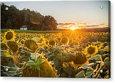 Wilted Sunset Acrylic Print