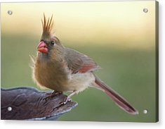 Wind Blown Cardinal  Acrylic Print by Terry DeLuco