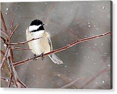 Windblown Chickadee Acrylic Print