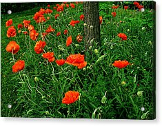 Windblown Poppies Acrylic Print by Roger Soule