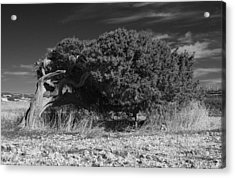 Windswept Olive Tree Acrylic Print by Donald Buchanan