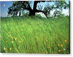 Windswept Poppies Acrylic Print by Kathy Yates