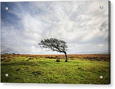 Windswept Tree Acrylic Print