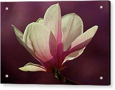 Wine And Cream Magnolia Blossom Acrylic Print by Byron Varvarigos