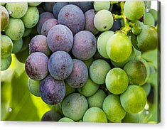 Wine Grapes Close Up Acrylic Print by Teri Virbickis