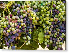 Wine Grapes On The Vine Acrylic Print by Teri Virbickis