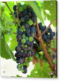 Wine Grapes Acrylic Print by Sharon West