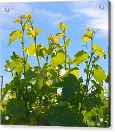 #wine #vines Reaching For The Sky :-) Acrylic Print