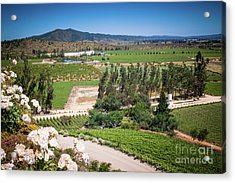 Vineyard View With Roses, Winery In Casablanca, Chile Acrylic Print by Anna Soelberg