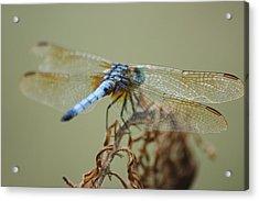 Winged Beauty Acrylic Print by Maria  Wall