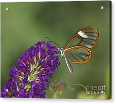 Wings Like Glass Acrylic Print by Ruth Jolly