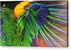 Wings Of A Conure Acrylic Print