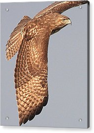 Wings Of A Red Tailed Hawk Acrylic Print by Wingsdomain Art and Photography