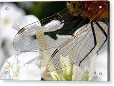 Wings On A Dragon Acrylic Print
