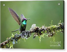 Wings Up Acrylic Print by Juan Carlos Vindas