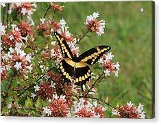 Wingspan Giant Swallowtail Acrylic Print by Reid Callaway