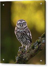 Winking Little Owl Acrylic Print