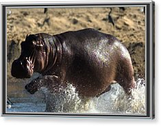 Winner Of The Herd Harem Hippopotamus Acrylic Print