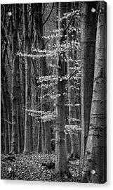 Winter Beech Acrylic Print
