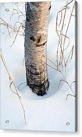 Winter Birch Acrylic Print by Bill Morgenstern