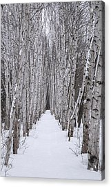 Winter Birch Path Acrylic Print