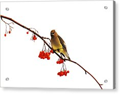 Winter Birds - Waxwing  Acrylic Print