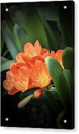Winter Bloom Clivia Acrylic Print by Julie Palencia