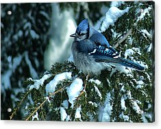 Winter Blue Jay Acrylic Print by Andrew Oliver