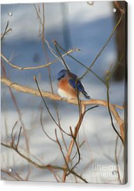 Acrylic Print featuring the painting Winter Bluebird Art by Smilin Eyes  Treasures